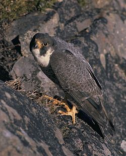 250px-Falco_peregrinus_nest_USFWS_free