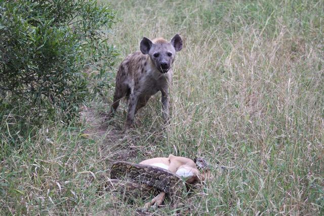 hyena-python-kill
