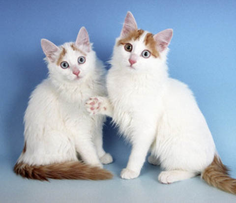 AP-GTXH9V_Turkish_Van_Kittens