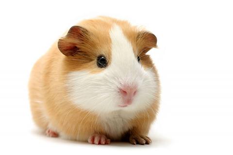 guinea-pig---tan