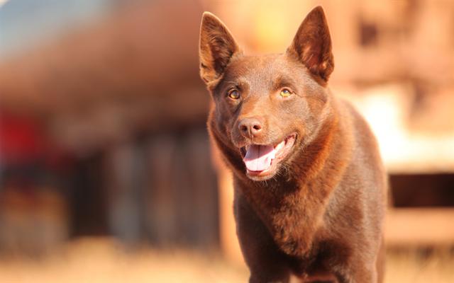 thumb2-australian-kelpie-dogs-cute-dog-brown-kelpie-pets