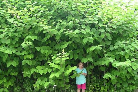 japanese-knotweed-main