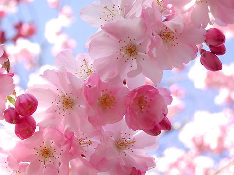 cherry-blossom-2011