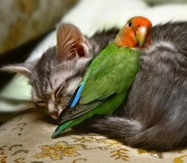 cuddling-animal-cat-and-parrot-e1328200024992