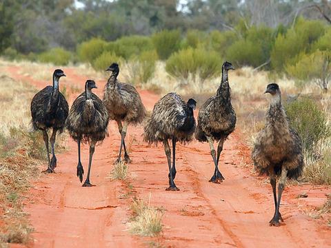 emu-wars-running-ponies