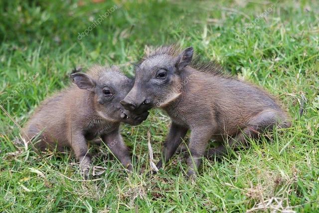 depositphotos_2304038-stock-photo-cute-baby-warthogs
