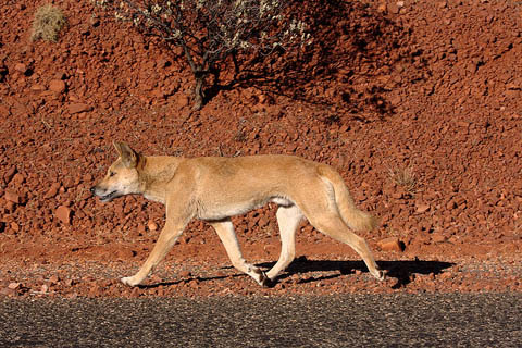 800px-Dingo_on_the_road