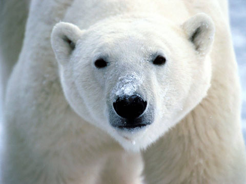 kaylarSnow_On_Snout_Polar_Bear-1600x1200