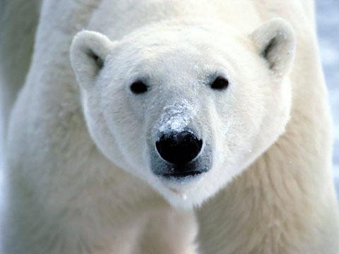kaylarSnow_On_Snout_Polar_Bear-1600x1200