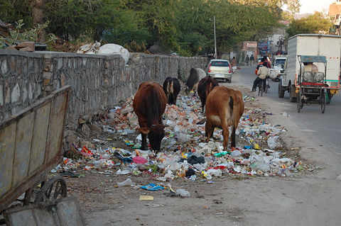 800px-jaipur_cows_eating_trash