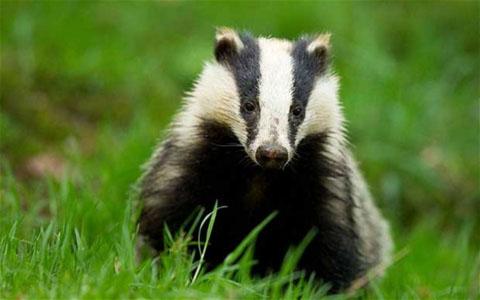 reprieve_for_uk_badgers