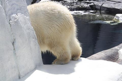 polar_bear_ass_by_dragostee