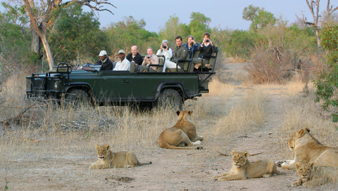 open-safari-vehicle-lions