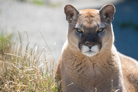 cougar-big-cat-wild-angry-grass-animal-3782-resized