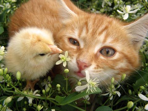 cat-chick_1857419i