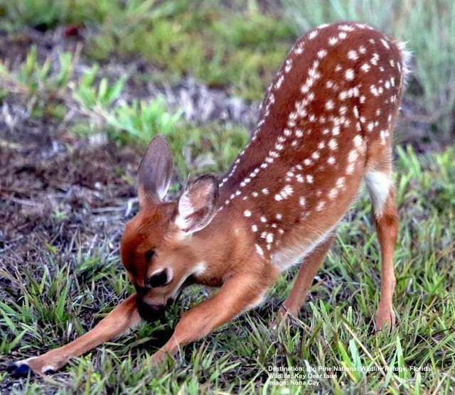 Key_Deer-faun_Big_Pine_National_Wildlife_Refuge_Image_Noni_Cay