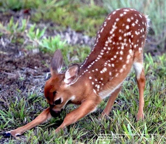 Key_Deer-faun_Big_Pine_National_Wildlife_Refuge_Image_Noni_Cay