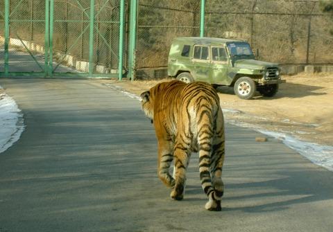 TigerBeijingSafariPark