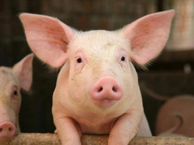 enjoyment-from-pig