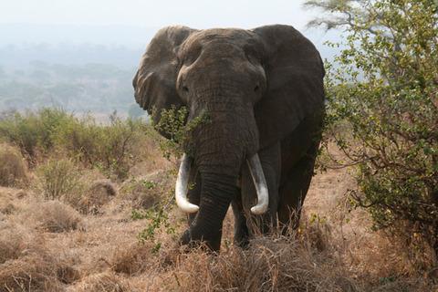 African_bull_elephant_Tanzania