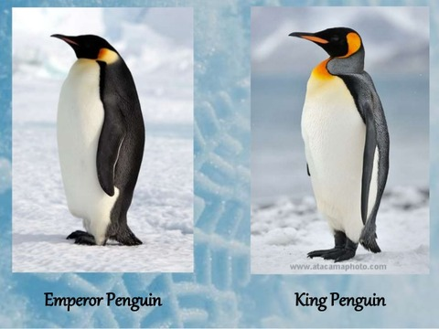 thermoregulatory-adaptions-in-penguins-25-638