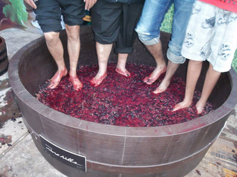 grape-stomping01