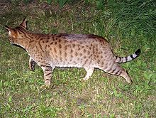 220px-Ocicat-on-the-move