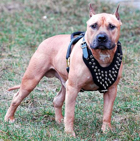 amstaff-spiked-harness-leather_LRG
