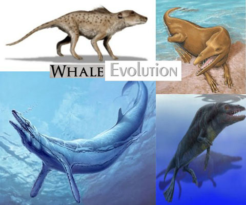 Whale-evolution