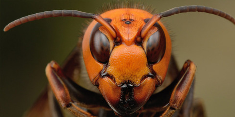 Japanese-giant-hornet-close-up