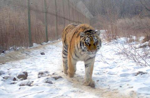 inside tiger 1