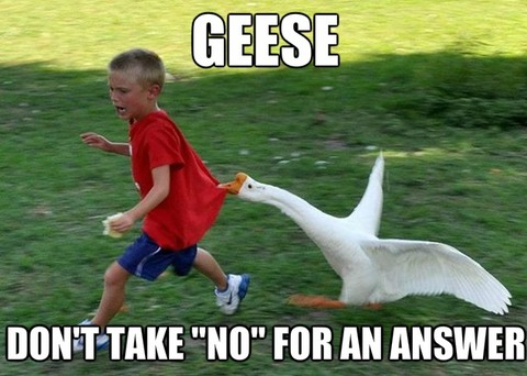 crazy-geese_o_2033779