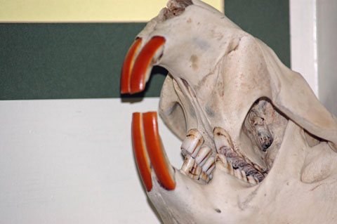beaver-teeth-leeann-mclane-goetz