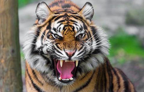 tigr-hischnik-past-oskal