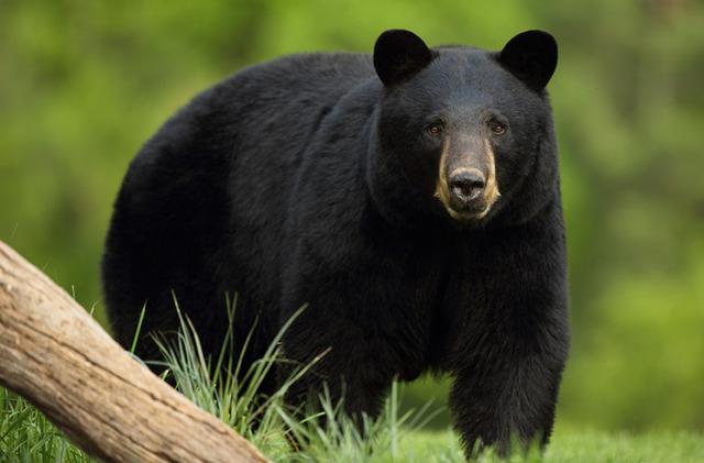 wildlife_blackbear