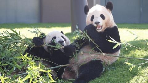 可愛いパンダたちにくぎづけ-3997