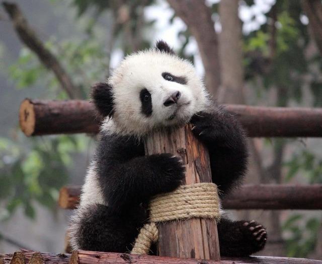 c9746e1fa03d3555fb49ef226f714d06--panda-bears-pandas
