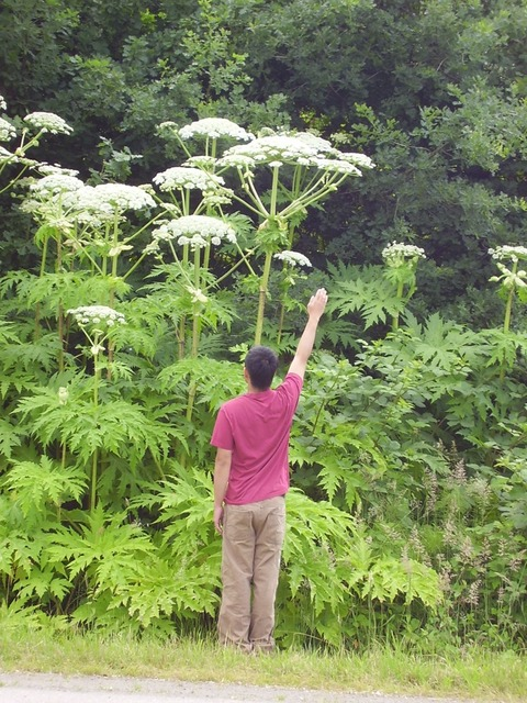 Giant_hogweed010_Barker_1