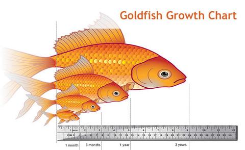 goldfish_size_chart