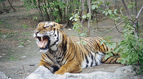 Man-mauled-to-death-by-Tiger-in-China-zoo-e1485694471436