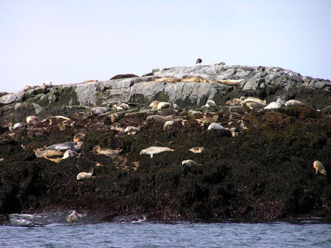 Seals_on_North_Rock