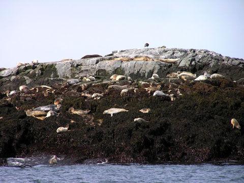 Seals_on_North_Rock