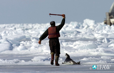 canadian-seal-hunt