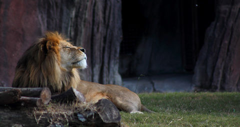 happy_lion_by_binarybird-d5myx87