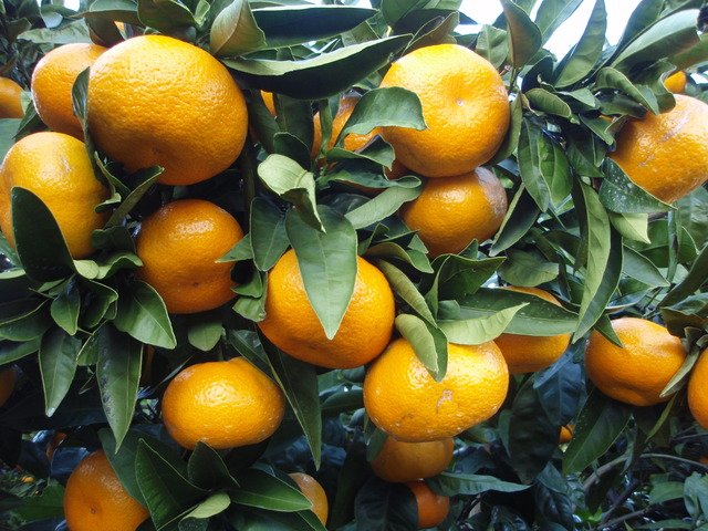 Citrus_unshiu_20101127_c