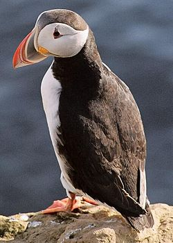 250px-Puffin2