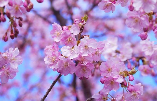 cherry-blossom-e1485856509786