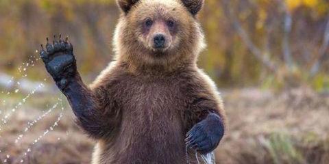 grizzly-bear-s-w600-h300-q75-m1405011134