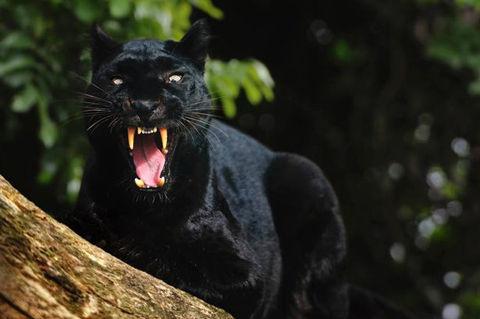 Black-Panther-50
