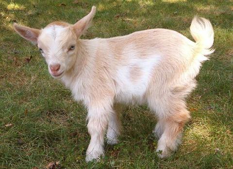 goat2a